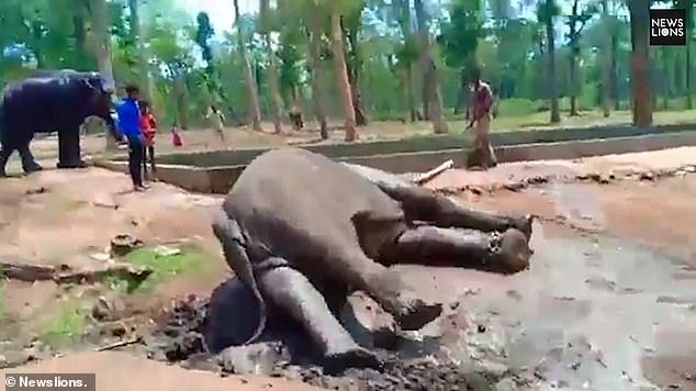 الفيل دارنوا  (1)