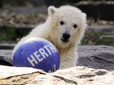 اخر الدببة القطبية